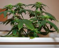 POWIAT SANOCKI: Młodzi handlarze narkotykami i napaść na policjanta (ZDJĘCIA)