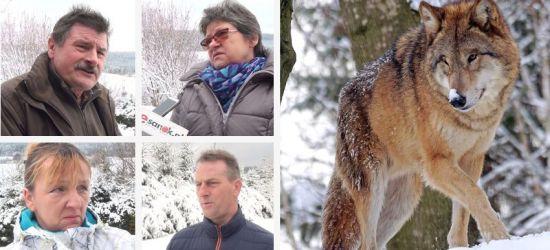 Pożerają owce, konie, psy! Przejmujące relacje mieszkańców Bieszczad (VIDEO)