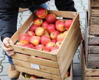 Darmowe jabłka dla sanoczan i mieszkańców regionu
