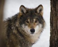 BIESZCZADY: Kto zabił i oskórował kolejnego wilka? (DRASTYCZNE ZDJĘCIE)