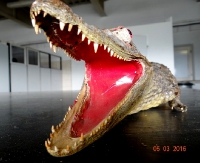 REGION: Krokodyl na granicy (ZDJĘCIA)