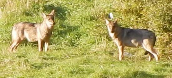BIESZCZADY: Bliskie spotkania z wilkami (VIDEO)