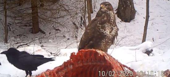 Myszołowy, orły i kruki… Nie odpuszczą takiej uczty (VIDEO)