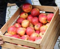 W piątek będą rozdawane jabłka. Chętni na darmowe owoce proszeni o cierpliwość