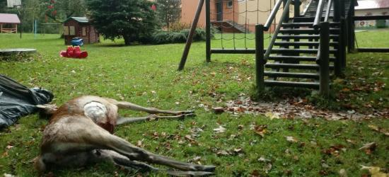 BIESZCZADY: Zagryziona łania na placu zabaw przy szkole! Zaatakowały wilki? (ZDJĘCIA)