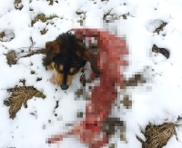 SANOK: Wilki na Dąbrówce? Wygryziony do kości pies znaleziony 25 m od domu (UWAGA: DRASTYCZNE ZDJĘCIA)