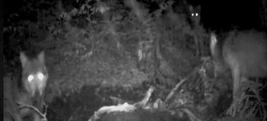 BIESZCZADY: Wilki trzy zaglądają w oko fotopułapki (VIDEO)