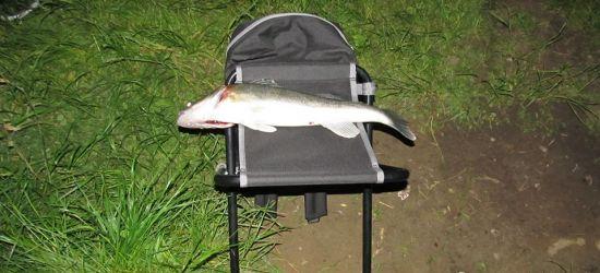 Nielegalne łowienie ryb! Sandacz w okresie ochronnym