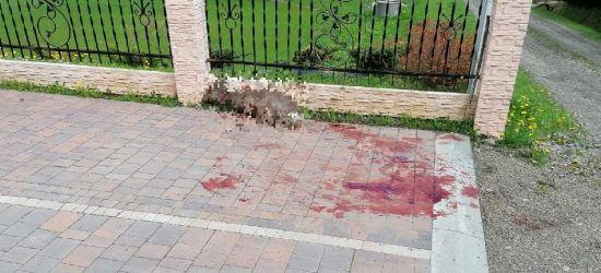 ŁUKOWE. Wilk zaatakował w środku dnia. Chwilę wcześniej trójka dzieci opuściła podwórko (DRASTYCZNE)