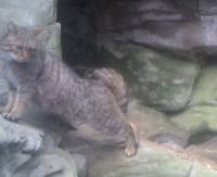 Żbik bieszczadzki w pełnej krasie! Kot z leśnictwa Kołonice (VIDEO)