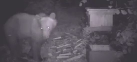 Kolejny głodny niedźwiedź dobrał się do bieszczadzkiej pasieki (VIDEO)