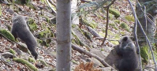 """Poranek w bieszczadzkim lesie. """"Miśki"""" ciekawe świata (FILM)"""