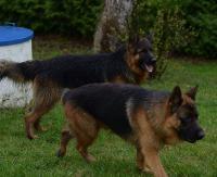 AKTUALIZACJA: Pomogliśmy odnaleźć właściciela dwóch zagubionych owczarków. Psy bezpiecznie wróciły do domu (ZDJĘCIA)