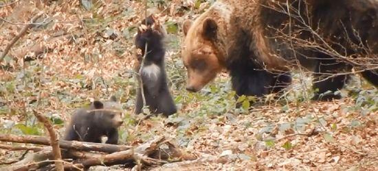 BIESZCZADY: Niedźwiedzica wróciła do Polanek, z nią urocza para miśków (VIDEO)