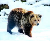 Aura wyborna to i niedźwiedzie nie śpią! Czekają na mroźne i śnieżne dni (FILMY)