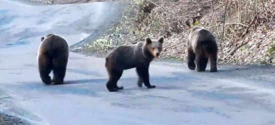 BIESZCZADY: Spotkania na drodze. Miśki spacerują (VIDEO)