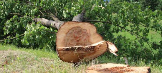 SANOK: Drzewa przy ul. Krakowskiej znikają w okamgnieniu! (ZDJĘCIA)