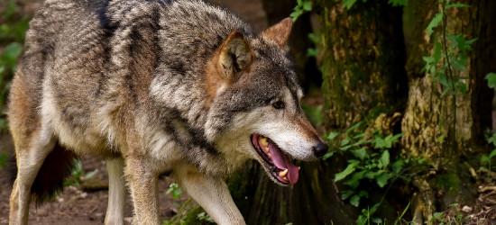 Niedźwiedzie, wilki i dziki coraz bliżej naszych domów. Urzędnicy proszą o zgłoszenia
