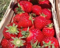 """Smaczne i świeże truskawki znajdziesz na """"truskawkowych polach"""" w Bykowcach i Zabłotcach! Atrakcyjne ceny!"""