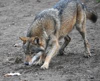 Wilki coraz śmielej panoszą się w Sanoku! Widziane na Wójtostwie, Dąbrówce i Błoniach