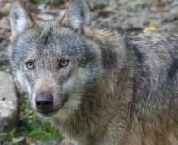 LESKO24.PL: Myśliwy zabił wilczycę. Leśnik ją oskórował. Obaj staną przed sądem