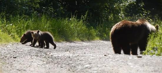 Niedźwiedzie w pobliżu! Nie polecamy takich spotkań (VIDEO)