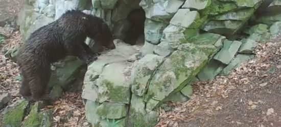 BIESZCZADY: Niedźwiadek w odwiedzinach u żbika (VIDEO)