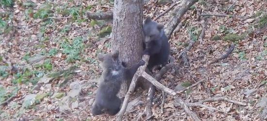 BIESZCZADY: Taka wiosna. Niedźwiadki harcują w lesie (VIDEO)