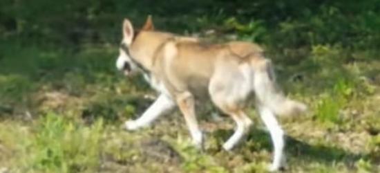 SANOK: Zwierzę, które niepokoiło mieszkańców to pies (NOWE VIDEO)