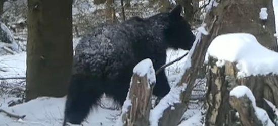 Bliskie spotkanie z niedźwiedziem w Bieszczadach (VIDEO)