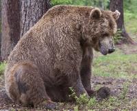 Bliskie spotkania z niedźwiedziem… ale tylko na fotopułapce. Jest ich w Bieszczadach coraz więcej (FILM, ZDJĘCIA)