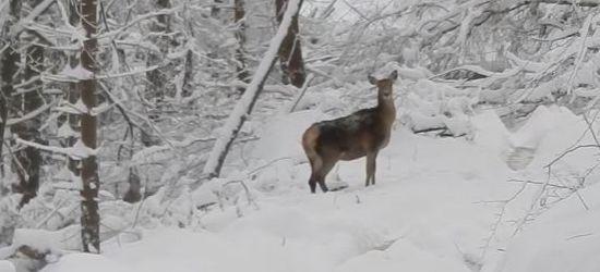 Chmara jeleni w mroźnym bieszczadzkim lesie. ZOBACZ VIDEO