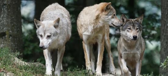 GMINA ZAGÓRZ: Trzy wilki rozszarpały psa w Zahutyniu! 150 metrów od domu (ZDJĘCIA)