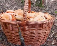 BIESZCZADY: Wysyp grzybów w lasach. Leśnicy radzą jak się nie zgubić (FILM)