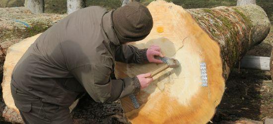 Drewno najwyższej jakości. 16 tys. zł za kłodę jaworu (ZDJĘCIA)
