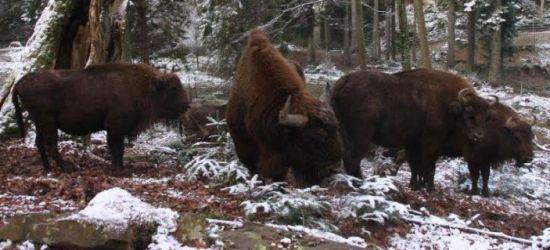 Bieszczadzkie żubry pojechały do Rumuni