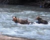 Niedźwiedzia rodzina przeprawia się przez rzekę. Zobacz fantastyczne video! (FILM)