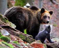 Niedźwiedzie w regionie. Co zrobić, gdy staniemy z nimi oko w oko?