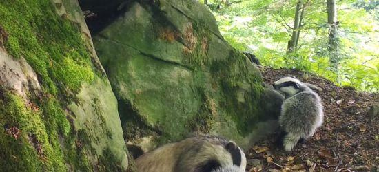 BIESZCZADY: Małe borsuki z Polanek. Wielkie rozrabiaki! (VIDEO)