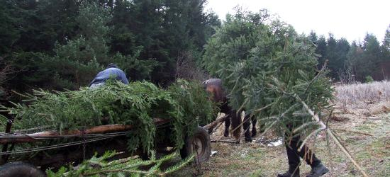 Świąteczne drzewko od leśników