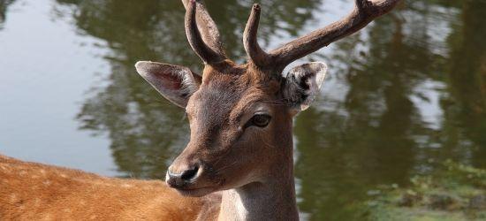 Jesienią aktywność dzikiej zwierzyny wzrasta. Uważajmy