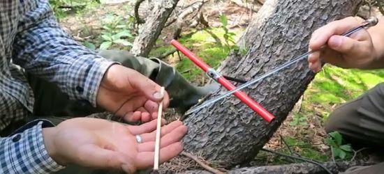100-letnie krzewy w bieszczadzkich lasach! (VIDEO)