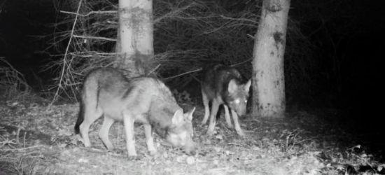 BIESZCZADY: Nocą w krainie wilka. ZOBACZ VIDEO!