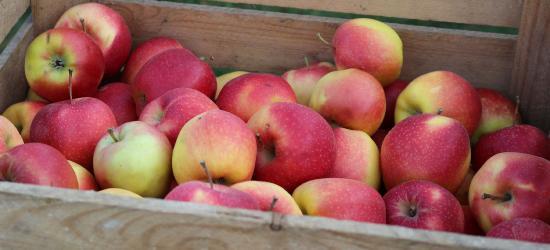SANOK: Darmowe jabłka. Będą rozdawane w nowej lokalizacji