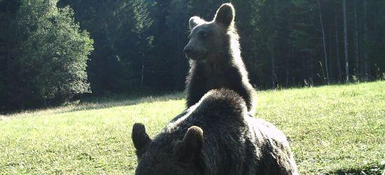 Niedźwiedzie. Piękne, ale i groźne zwierzęta (FOTO)