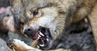 Wilki nękają mieszkańców i pożerają psy. Dzieci boją się wychodzić (DRASTYCZNE ZDJĘCIA)