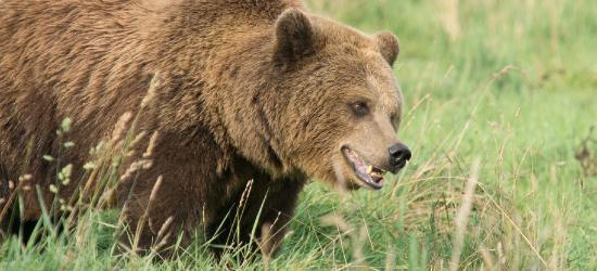 BIESZCZADY: Niedźwiedzie budzą się z zimowego snu. Policja apeluje o ostrożność