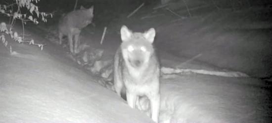BIESZCZADY: Było polowanie. Wataha ucztowała pod osłoną nocy (VIDEO)