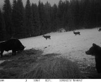 Spotkanieżubra, niedźwiedzia i jeleni