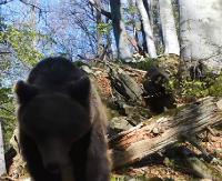 """Bieszczadzkie """"miśki"""" przemierzają granice nadleśnictw, pozując do kamery! Niedługo zaczynają się też """"niedźwiedzie amory"""" (FILMY)"""